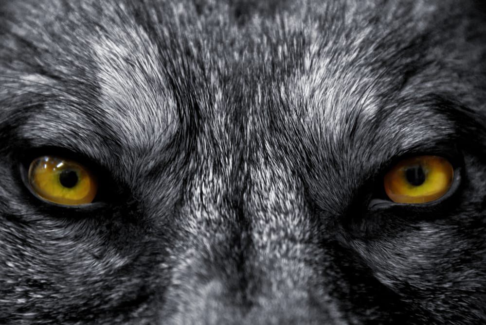 RECLAIMING YOUR MANHOOD: BE A WOLF NOT A DOG