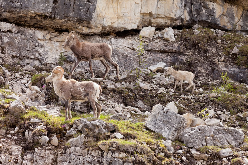 Everything You Need to Know About Dall Sheep and Dall Sheep Hunting